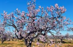 Цветене миндальных деревьев полностью Стоковое Изображение
