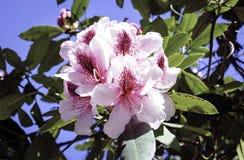 Цветене на саде Kabota Стоковые Изображения RF