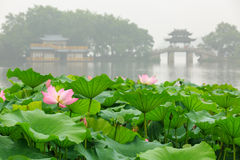 Цветене лотоса озера Ханчжоу западное полностью в туманном утре стоковые изображения rf
