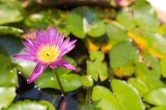 Цветене лотоса полностью в пруде Стоковая Фотография