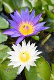 Цветене лотоса полностью в пруде Стоковые Изображения RF