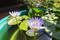 Цветене лотоса полностью в пруде Стоковые Фото