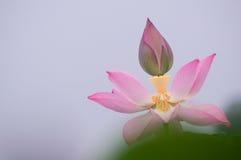 Цветене лотоса Стоковые Изображения RF