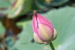 Цветене лотосов стоковая фотография rf