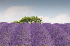 Цветене поля лаванды полностью Стоковое Изображение
