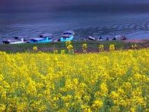 Цветене рапса весны полностью Стоковые Изображения
