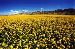 Цветене рапса полностью в плато Цинхая Стоковые Фото