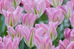 Цветене розовых тюльпанов Стоковая Фотография RF