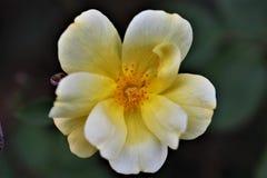 Цветене розы желтого цвета полностью стоковая фотография rf