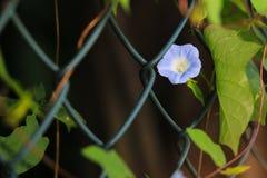 цветене славы утра полностью стоковое фото rf