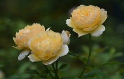 Цветене 3 сногсшибательное желтых роз полностью Стоковое фото RF