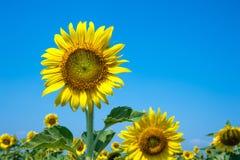 Цветене солнцецвета Стоковое фото RF
