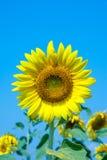Цветене солнцецвета Стоковое Изображение