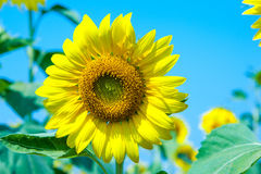 Цветене солнцецвета Стоковое Изображение RF