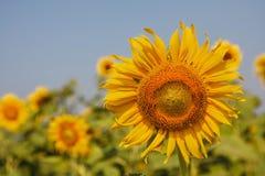 Цветене солнцецвета Стоковая Фотография