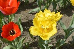 Цветене тюльпана Стоковое Изображение
