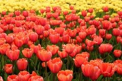 Цветене тюльпанов весны полностью Стоковые Фотографии RF