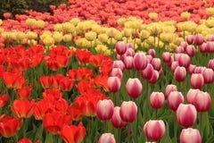 Цветене тюльпанов весны полностью Стоковые Изображения
