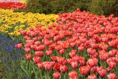 Цветене тюльпанов весны полностью Стоковое Фото