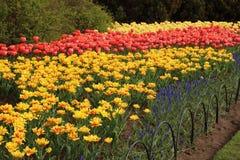 Цветене тюльпанов весны полностью Стоковое фото RF