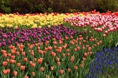 Цветене тюльпанов весны полностью Стоковые Фото