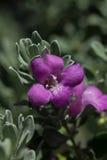 Цветене фиолетового шалфея Стоковое Изображение RF