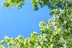 Цветене цветения Яблока полностью над предпосылкой голубого неба стоковая фотография rf