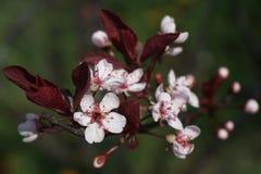 цветене цветет пинк стоковая фотография rf