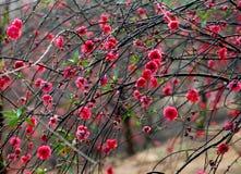 цветене цветет полный персик стоковые изображения rf