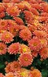 цветене цветет помеец стоковые фото