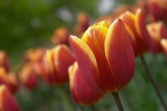 цветене цветет тюльпан Стоковые Фотографии RF