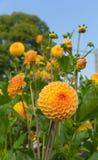 Цветене цветка желтого цвета наслаждения ryecroft георгина круглое Стоковые Фото