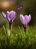 Цветене цветка крокуса в заходе солнца