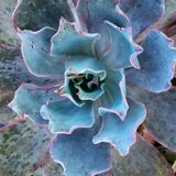 цветене цветка пустыни Стоковая Фотография RF