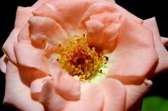 Цветене цветка Стоковая Фотография RF