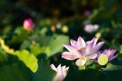 Цветене цветков лотоса в парке стоковое фото rf
