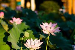 Цветене цветков лотоса в парке стоковое изображение rf