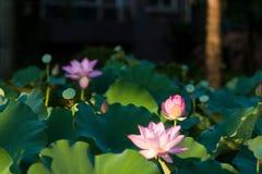 Цветене цветков лотоса в парке стоковые изображения rf