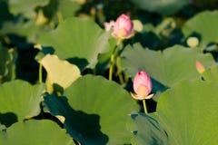 Цветене цветков лотоса в парке стоковые фотографии rf