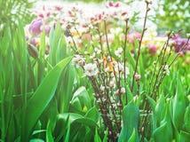 Цветене цветков на ветвях Сакуры Стоковые Изображения RF
