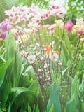 Цветене цветков на ветвях Сакуры Стоковое фото RF
