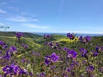 Цветене цветков фиесты супер стоковая фотография