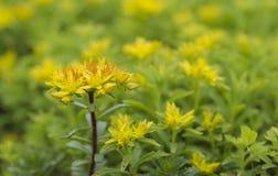 Цветене цветков Panax Sedum полностью Стоковое фото RF