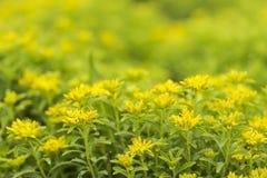 Цветене цветков Panax Sedum полностью Стоковая Фотография RF