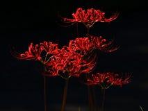 Цветене цветков radiata Lycoris полностью стоковые фотографии rf