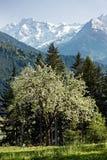 Цветене яблони полностью Стоковое Фото