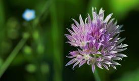 Цветене Chives Стоковые Изображения