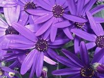 Цветене cineraria флориста стоковые изображения