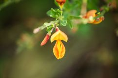 Цветене Cytisus желтое стоковые изображения