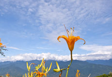 Цветене Daylily Стоковые Изображения